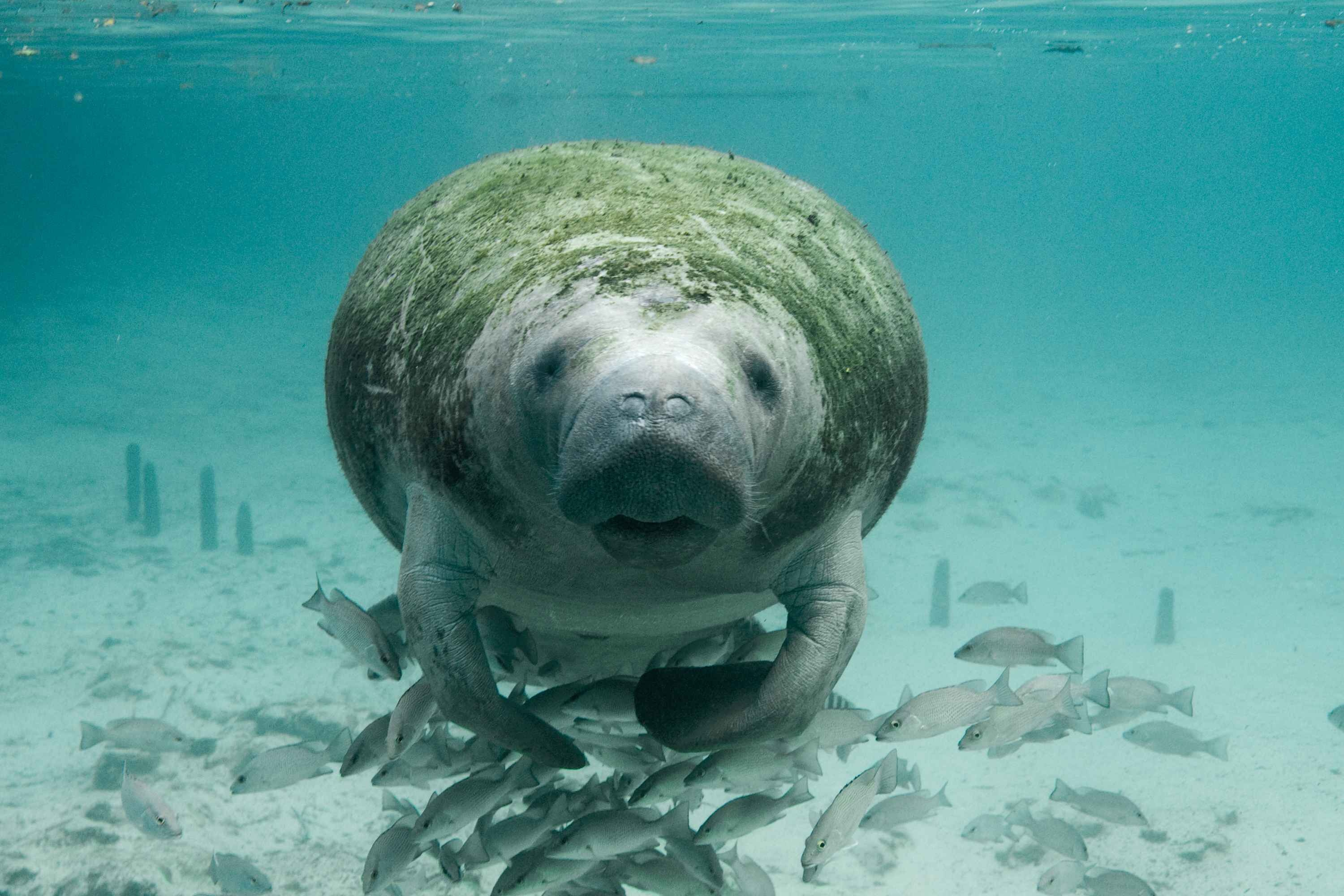 The west indian manatee is found in Crystal River and Homosassa Florida.